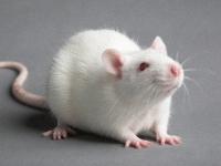 Крыса живая (1 шт.)