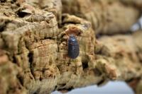 Gromphadorhina grandidieri — Тигровый гигантский  мадагаскарский таракан. Дети.