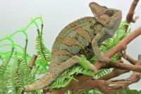 Йеменский хамелеон (calyptratus)