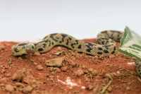 Lampropeltis brooksii мозаика (рожд. июль 2020)